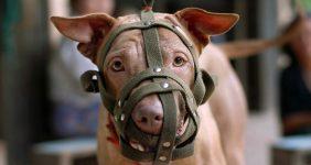 Delta bans emotional support pit bulls
