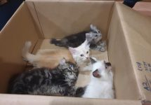 Man attempts to smuggle four kittens in his trousers — Immigration and Checkpoints Authority