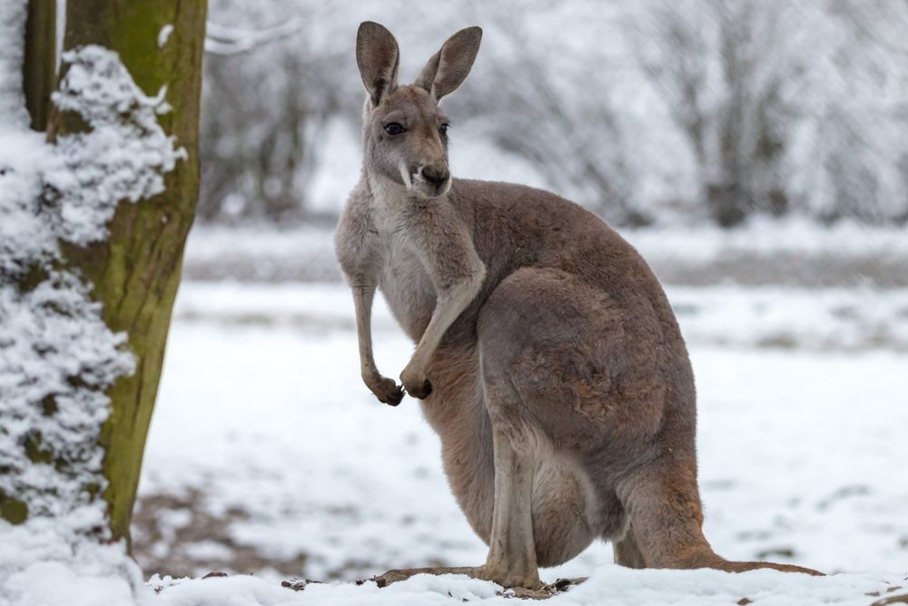 each winter, more snow falls on the Australian Alps than on the entire country of Switzerland — Shutterstock 15 surprising facts about Australia