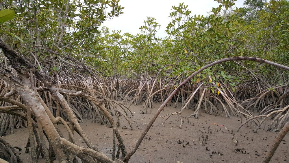 Mangrove trees in Kiang West National Park — Shutterstock