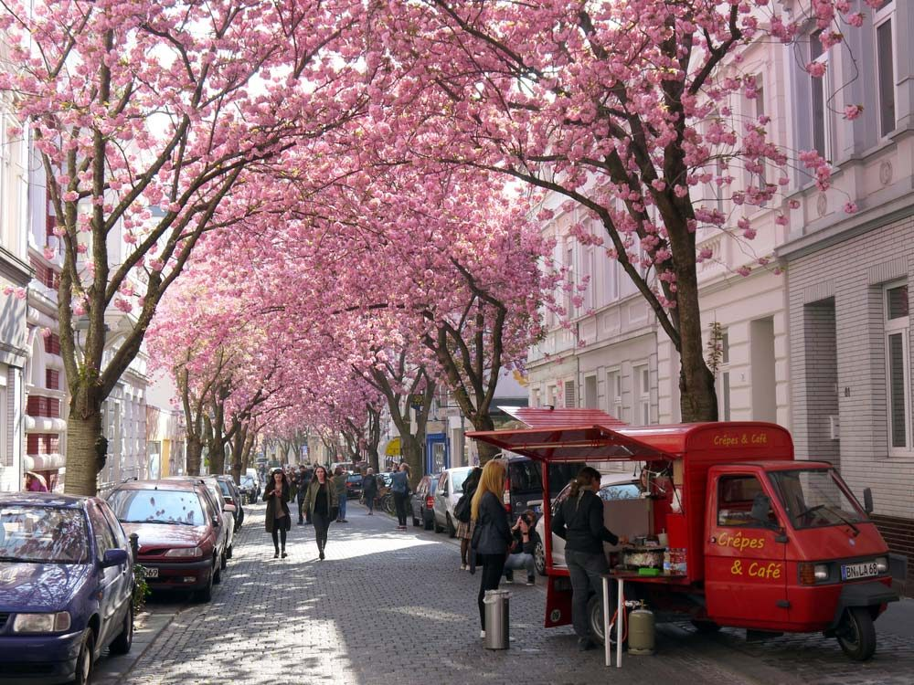 Heerstrasse is known as Bonn's Cherry Blossom Avenue — trang trinh / Shutterstock