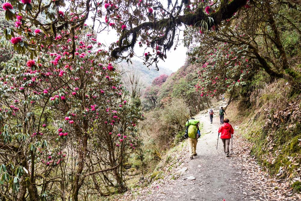 There are many rhododendron treks in Nepal to choose from — Shutterstock